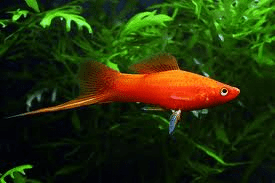 red-swordtail