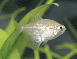 white-widow-tetra