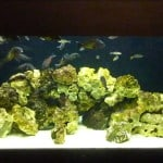 Tropheus and Sardine Cichlid Aquarium 400L
