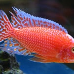 Aulonocara Firefish – Aulonocara Sp. Dragons Blood