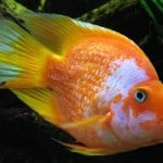Cross Breeding Tropical Fish