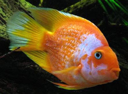 Cross breeding tropical fish tropical fish site for Parrot fish freshwater