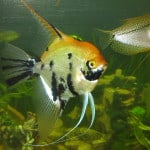 Koi Angelfish – Pterophyllum Scalare