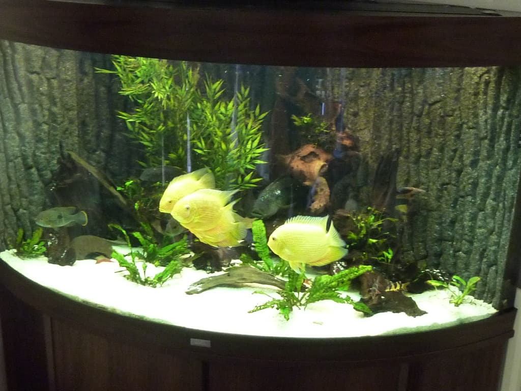 South American Cichlid Corner Tank 350l Tropical Fish Site