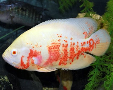 Blue Ram Cichlid Full Grown further Topic 5067 9 Records Des Poissons Rouges Et Autres in addition Cichlid fish  patibility also Dwarf gourami for sale further Albino Tiger Oscar Astronotus Ocellatus. on oscar fish compatibility