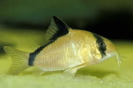 Image result for cory catfish