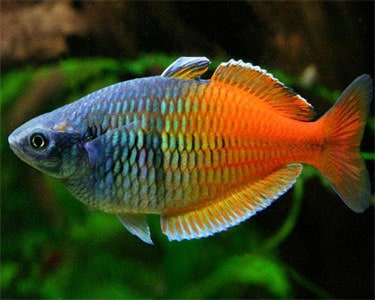 Boesemani rainbowfish melanotaenia boesemani tropical for Dwarf rainbow fish