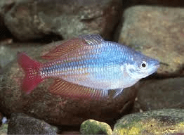eastern-rainbowfish