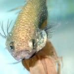 Gill Flukes Fish Disease