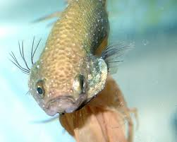 Common tropical fish diseases tropical fish site for How often do i feed my betta fish