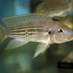 Pearl Lined Cichlid – Neolamprologus Tetracanthus
