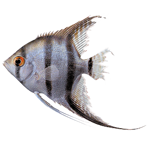 Ragged tail fin fish disease tropical fish site for Fish tail fin