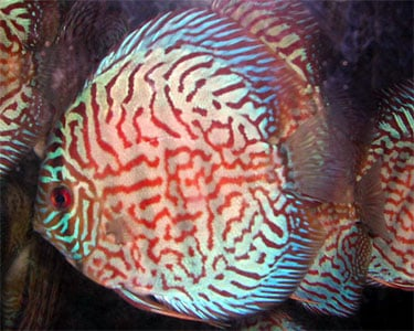 red-turquoise-discus