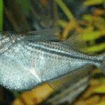 Silver Hatchetfish – Gasteropelecus Sternicla