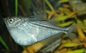 silver-hatchetfish
