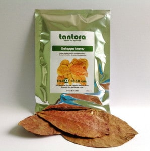 tantora-catappa-leaves