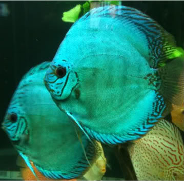 blue-knight-discus
