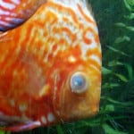 Cloudy Eye Fish Disease