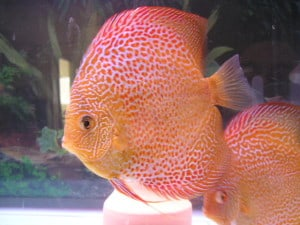 red-leopard-discus