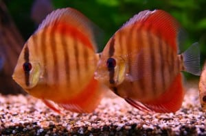 rose-red-discus