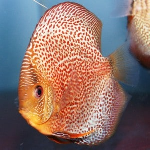 spotted-eruption-discus