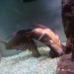Swim Bladder Fish Disease