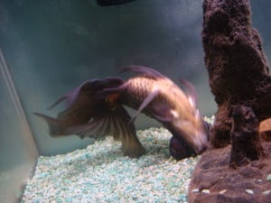 swim-bladder-disease