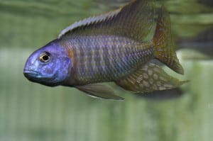 tramitichromis-red-flush