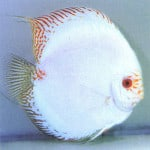 White Butterfly Discus – Symphysodon Aequifaciatus sp.