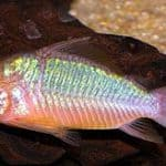 Emerald Green Corydoras Catfish – Brochis Splendens