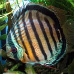 Red Spotted Green Discus – Symphysodon Aequifaciatus sp.