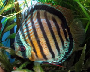 red-spotted-green-discus