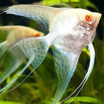 Albino Angelfish – Pterophyllum Sp