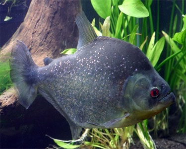 Black Piranha Serrasalmus Rhombeus Tropical Fish Site