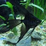 Black Veil Angelfish – Pterophyllum Sp