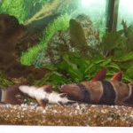 Clown Loach On Its Side Or Back