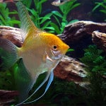 Gold Veil Angelfish – Pterophyllum Sp
