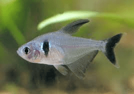 black-phantom-tetra
