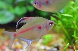 bleeding-heart-tetra