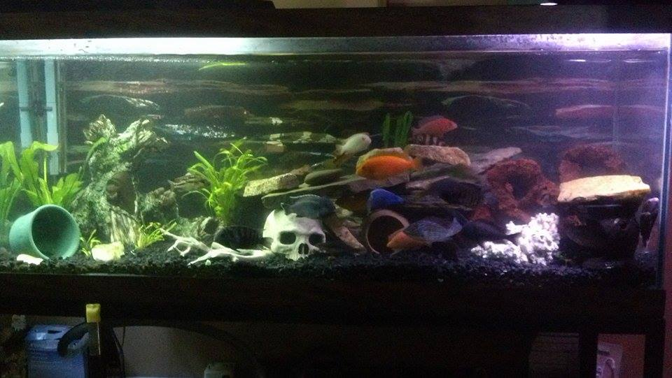 75 gallon cichlid tank tropical fish site for 75 gallon fish tank dimensions