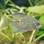 Diamond Tetra – Moenkhausia Pittieri