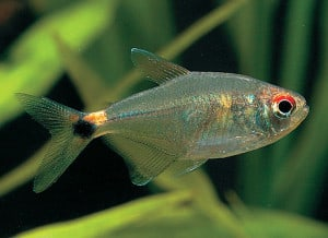 head-and-tail-light-tetra
