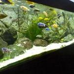 Mixed Malawi Fish Tank Aquarium