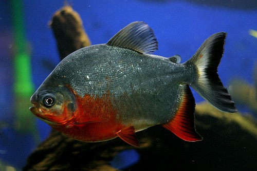 red-bellied-pacu