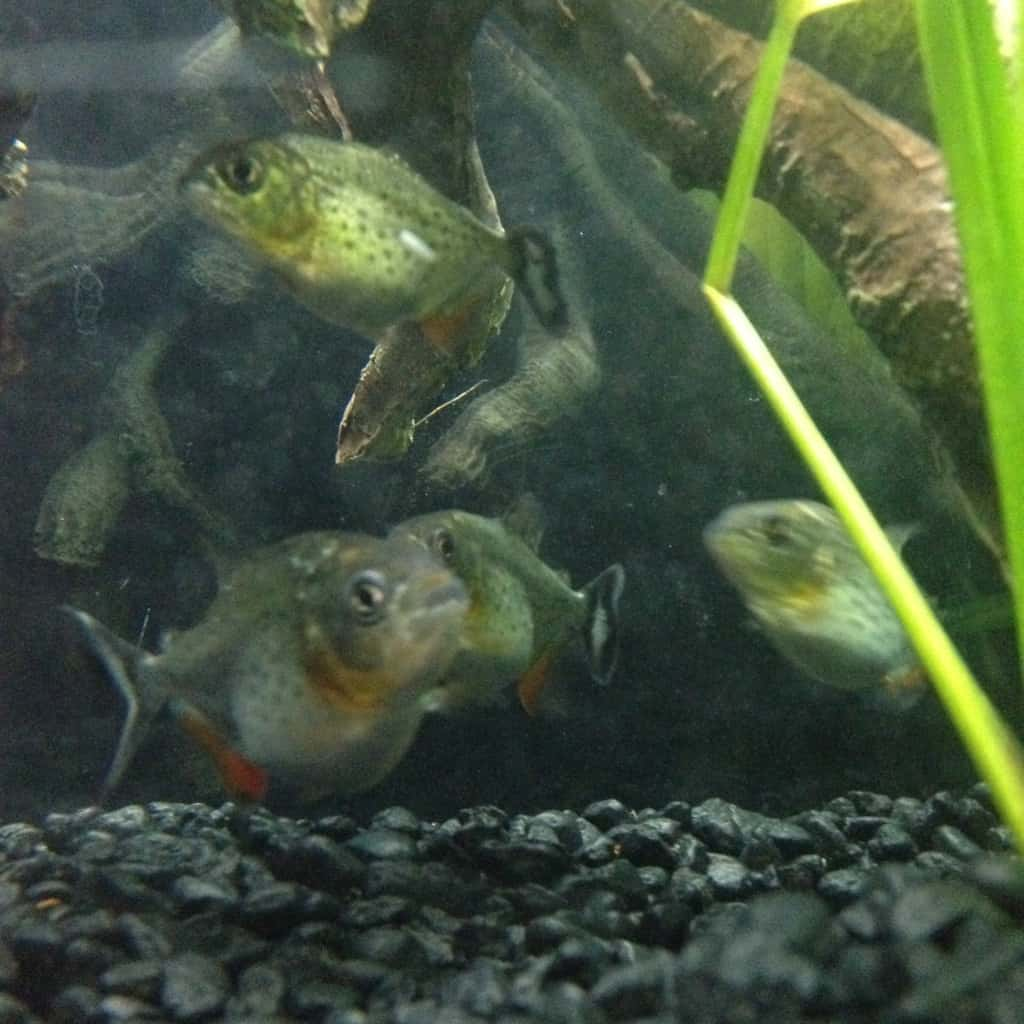 Red Belly Piranha Predator Tank Tropical Fish Site