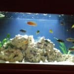 Mixed African Cichlid Tank 250L