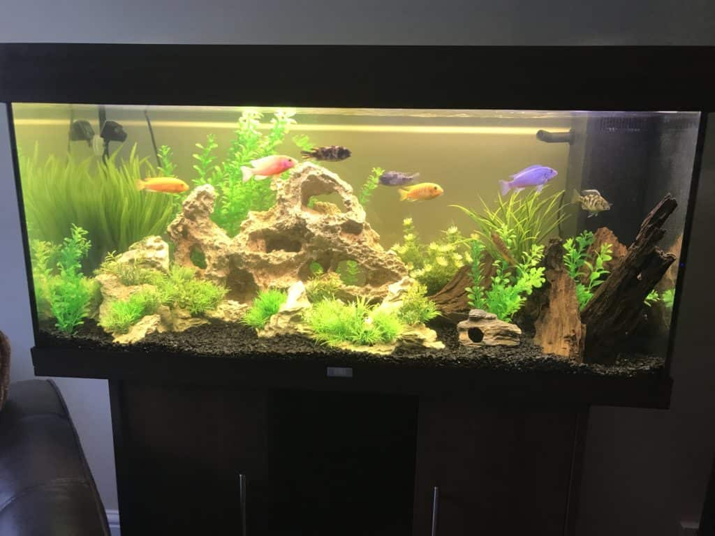 Mixed African Cichlid Tank Tropical Fish Site