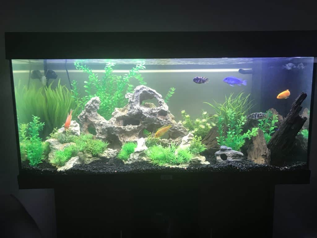 Mixed african cichlid tank tropical fish site for Cichlid fish tank