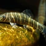 A Deeper Look In To Loach Fish Species